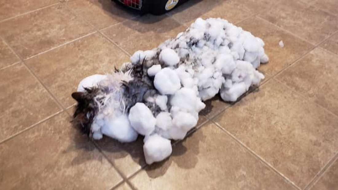 Gato foi encontrado congelado nos Estados Unidos (Foto: Divulgação/ Clínica Veterinária de Kalispell)