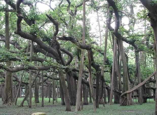 As raízes se parecem com vários troncos, que dão a impressão de que ali há uma floresta (Foto: McKay Savage/ Reprodução)