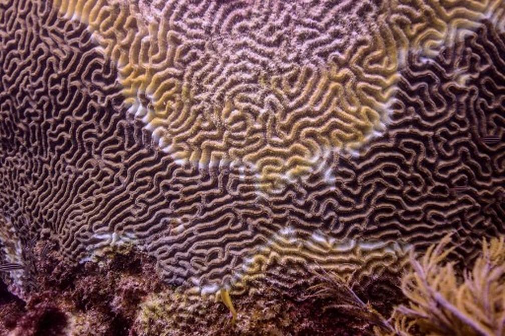 Recifes de corais do Caribe mexicano perdem a vida e se transformam em esqueletos de cálcio por doença — Foto: Armando Gasse/Adaptur/AFP