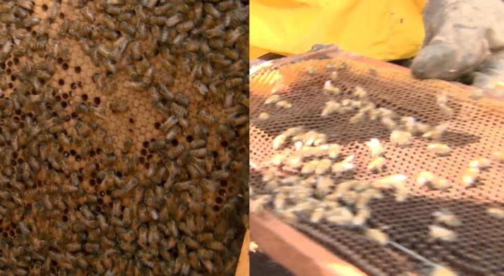 Apicultor mostra diferença entre colmeias em Pirassununga (Foto: Reprodução/ EPTV)