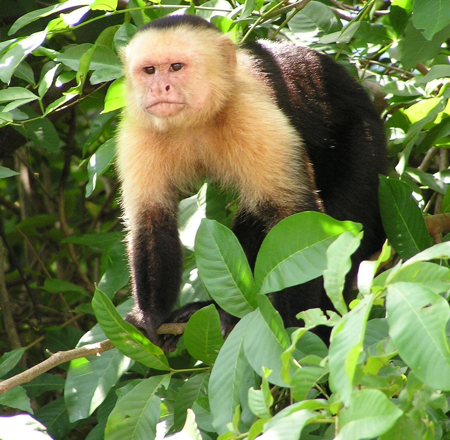 esp cie de macaco brasileiro entrou na idade da pedra h 700 anos galileu ci ncia. Black Bedroom Furniture Sets. Home Design Ideas
