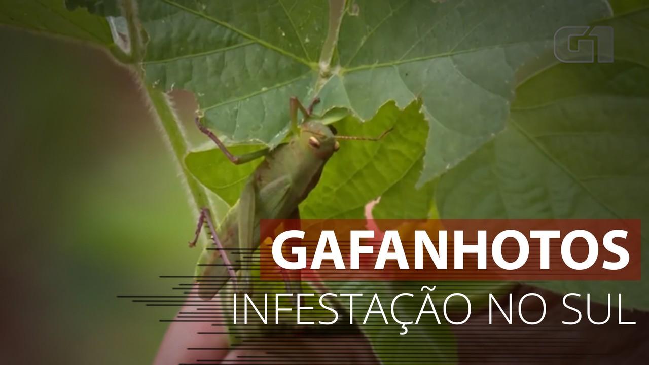 VÍDEO: Infestação de gafanhotos preocupa agricultores do Noroeste Gaúcho