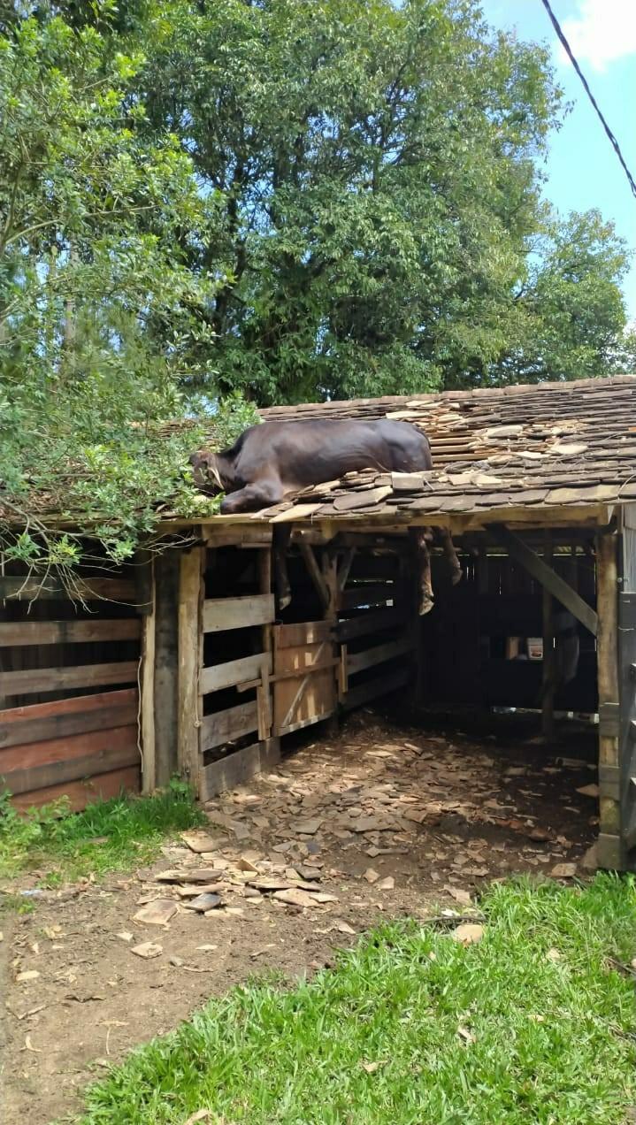 Vaca é resgatada após ficar presa em telhado em SC; FOTO