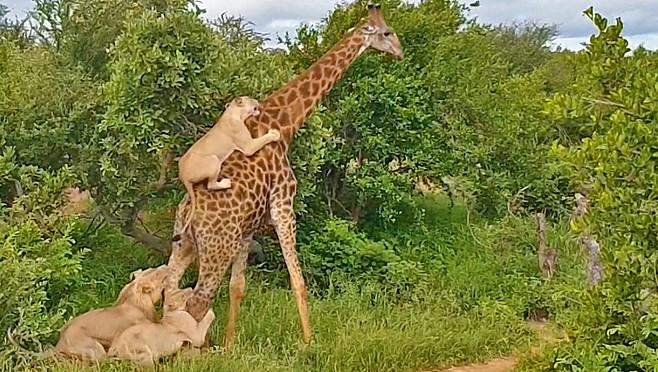 Girafa foi atacada por leões em safári na África do Sul (Foto: Reprodução/Youtube)