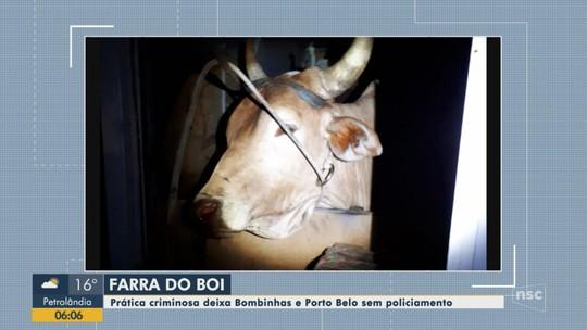 Porto Belo e Bombinhas registram casos de farra do boi e suspeitos de maus-tratos são detidos