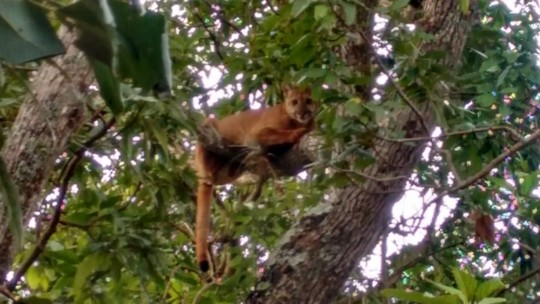 Rapaz flagra onça que subiu em árvore fugindo de cães: 'Saí correndo'