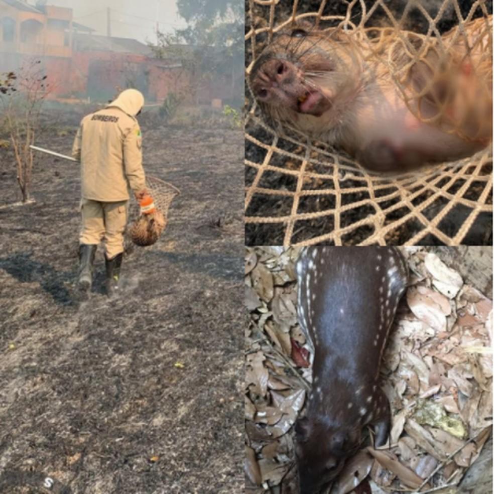 Paca é resgatada durante incêndio com as patas queimadas — Foto: Corpo de Bombeiros/Divulgação