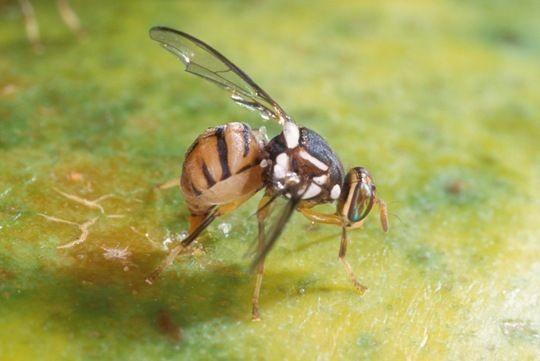 Municípios de Almeirim e Santarém se destacam em combate à mosca da carambola, no Pará