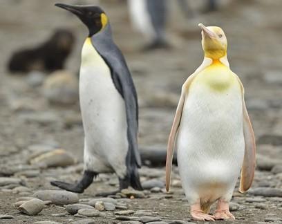 Fotógrafo flagra raro pinguim amarelo em colônia de ilha no Atlântico Sul