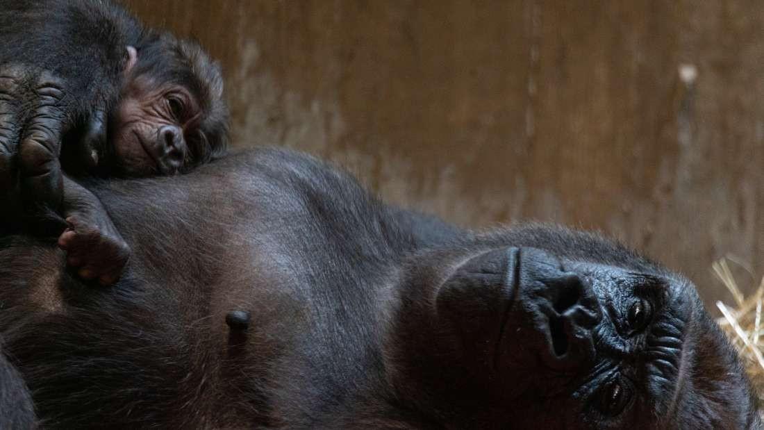 Moke é o primeiro filho da gorila Kalaya  (Foto: Divulgação/ The Smithsonian Zoo And Conservation Institute)