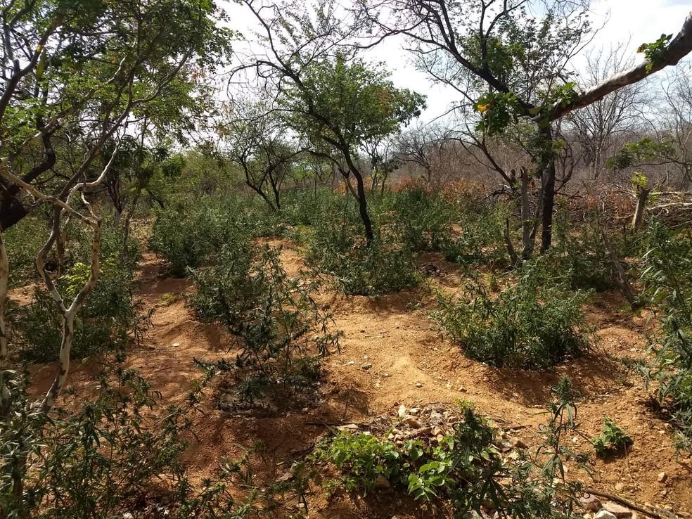 Os plantios foram localizados na Zona Rural de Cabrobó, PE. — Foto: Polícia Militar