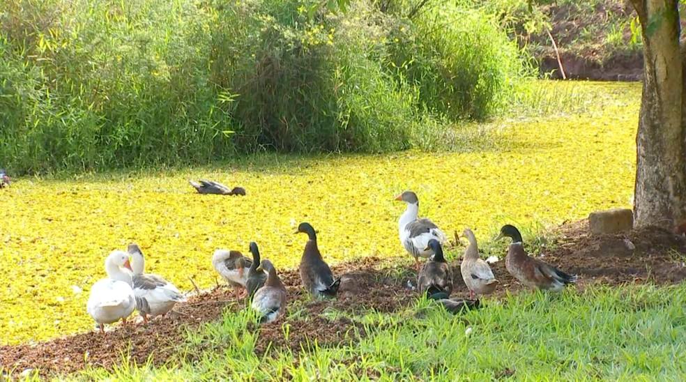 Patos e gansos que vivem no local quase não conseguem mais nadar na lagoa — Foto: TV TEM/Reprodução
