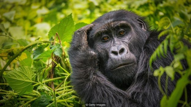 Olhe nos olhos de um gorila e você terá a impressão de estar sendo analisado e julgado por outra pessoa (Foto: CHERYL RAMALHO/BBC )