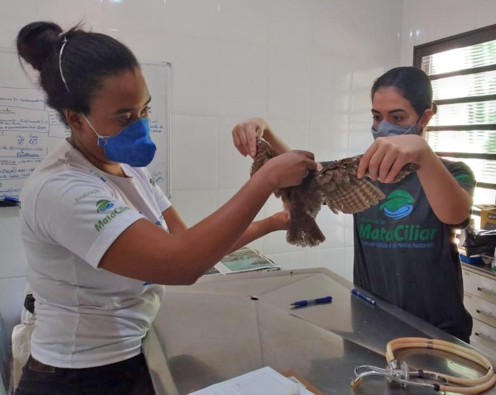 Corujinha-do-mato foi monitorada e medicada após o atropelamento e seguiu sob os cuidados da equipe da ONG — Foto: Associação Mata Ciliar/Divulgação