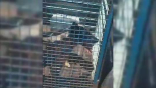 Cães recém-operados ficam expostos ao sol dentro de gaiola na caçamba de picape em Assis; vídeo