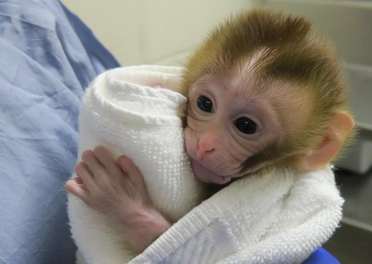 Grady, o primeiro macaco gerado com tecido congelado de testículo (Foto: Oregon National Primate Research Center of the Oregon Heath and Science University)