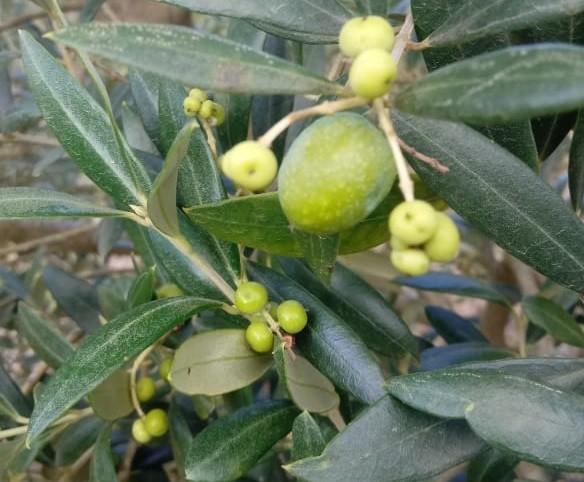 Um dos impactos da deriva do 2,4D é na produção de oliveiras. Foto mostra que só um fruto se desenvolveu devido à perda de vigor e força da planta (Foto: Valter Potter/Arquivo Pessoal)