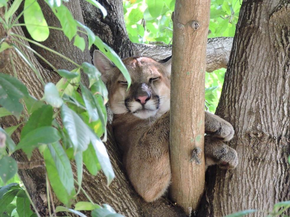 O animal é um macho, jovem, com aproximadamente 35 quilos — Foto: Divulgação/Projeto Corredor das Onças