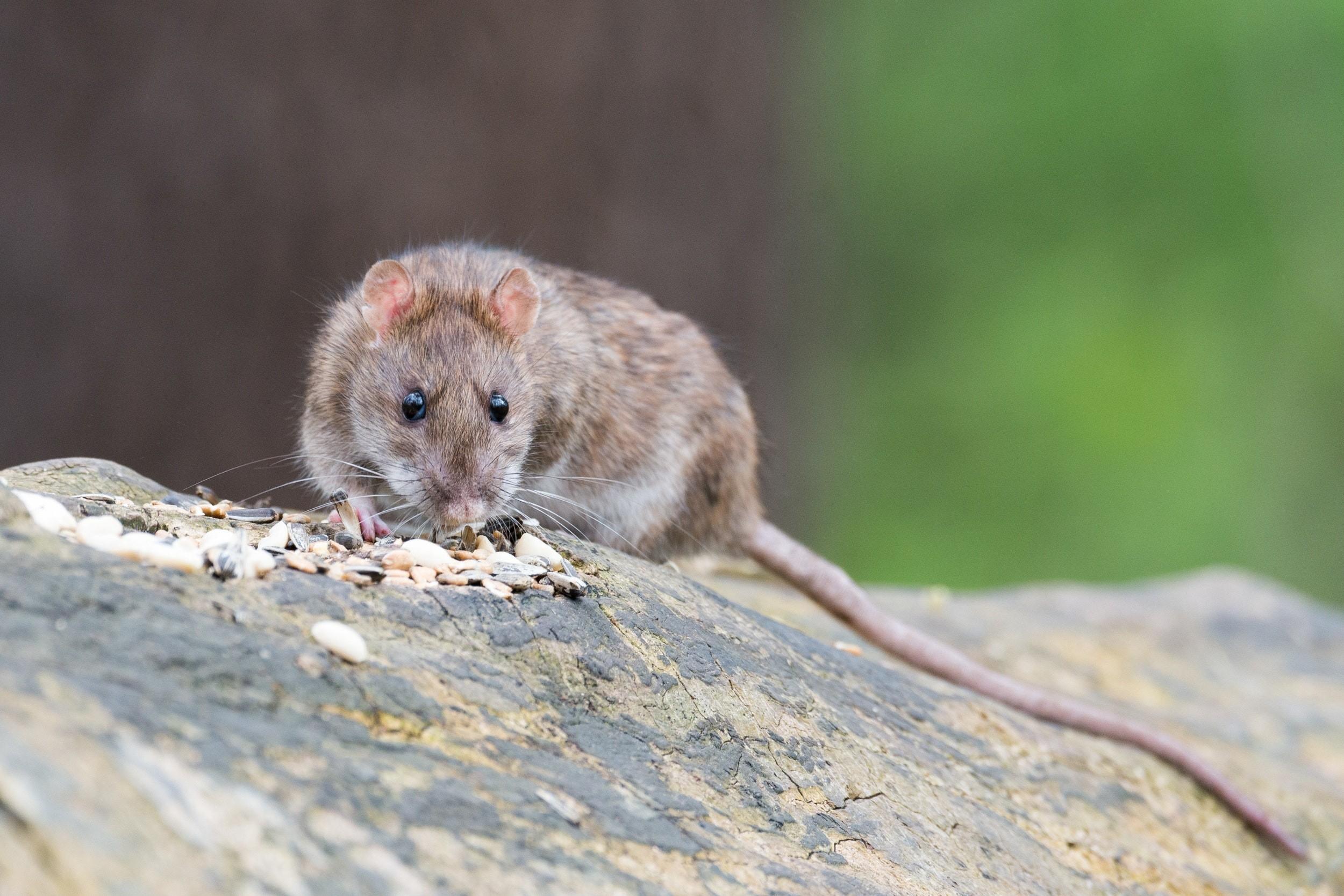 Especialistas ainda não sabem como os ratos transmitem Hepatite E para humanos (Foto: Pexels/Creative Commons)
