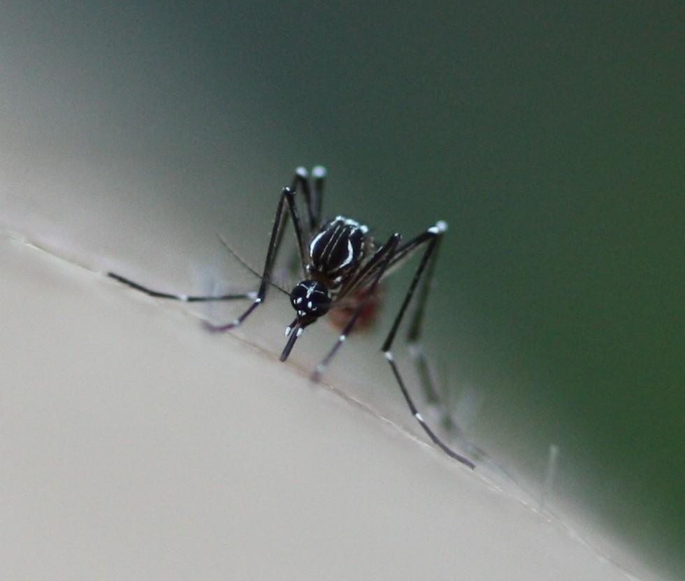 Mosquito Aedes aegypti, transmissor da dengue (Foto: Flickr/Mônica R./Creative Commons)