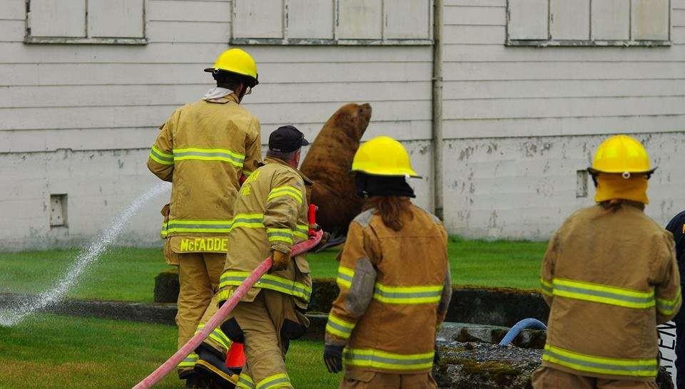Bombeiros tentaram levá-lo de volta ao mar com mangueiras  (Foto: Roberta White/Sitka Volunteer Fire Department)