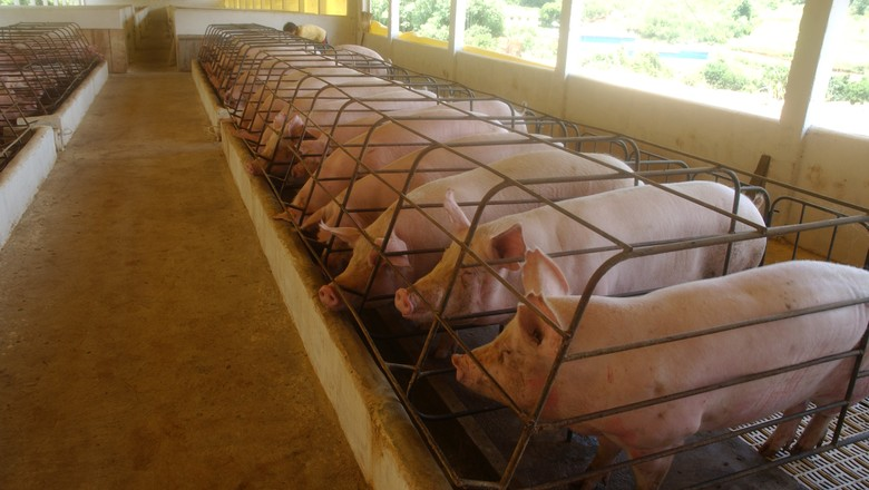 porco-suino-suíno (Foto: Ernesto de Souza/ Ed. Globo)