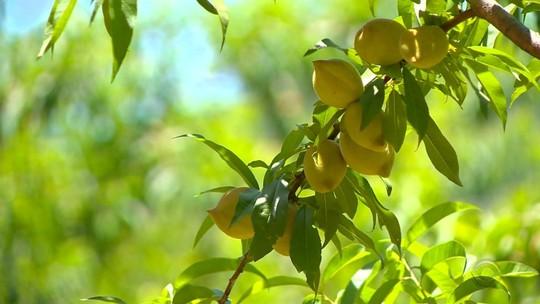 Fruticultura tem se tornado boa alternativa de negócios para produtores do RS