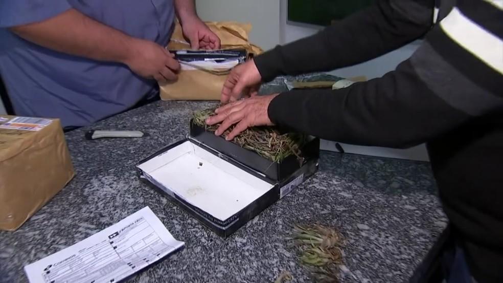 Orquídeas e bromélias nativas são colocadas em caixa de sapato para serem enviadas para fora do Brasil — Foto: Reprodução/TV TEM