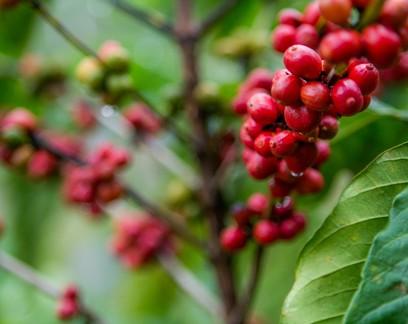 Conab estima produção de café em 46,78 milhões de sacas de 60 quilos