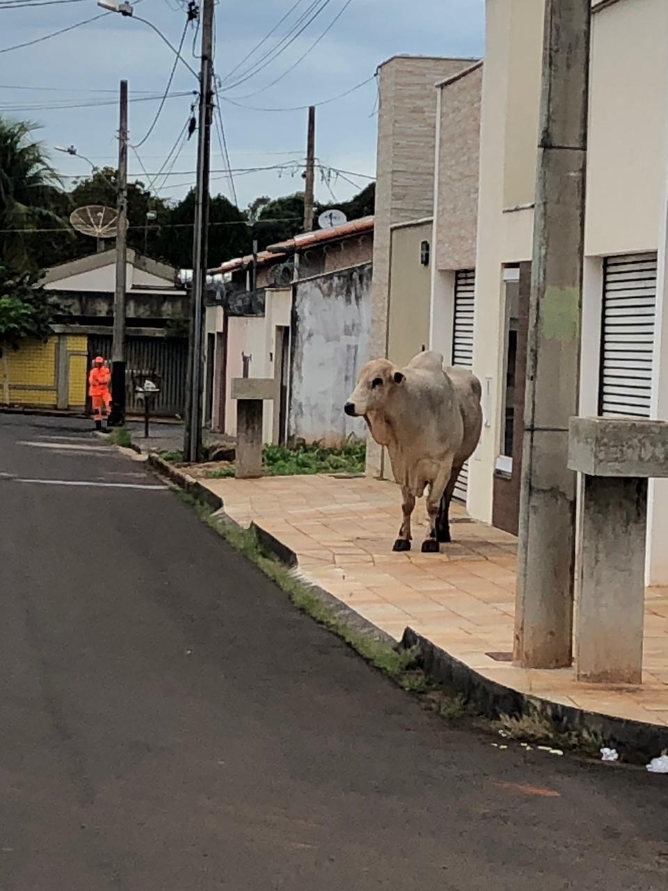 Corpo de Bombeiros utiliza vaca e bezerro para tirar boi das ruas de Ituiutaba