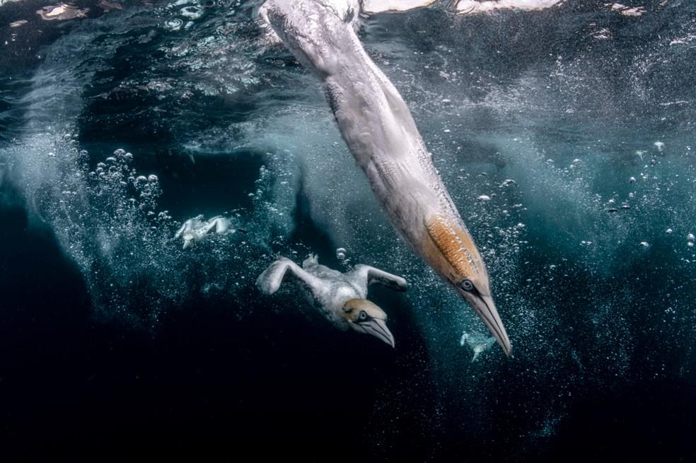 Abatrozes mergulhando em busca de comida. Fotografia foi premiada com 2° no Ocean Photography Awards. — Foto: Ocean Photography Awards   Henley Spires