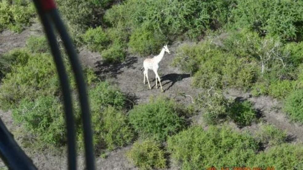 Dispositivo de rastreamento por GPS foi colocado em um dos chifres dela no dia 8 de novembro — Foto: Hirola Conservancy/BBC