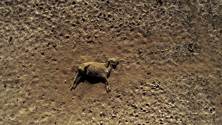 Gado morre por falta d'água em meio à maior seca dos últimos anos no Pantanal (Foto: José Medeiros/Ed.Globo)
