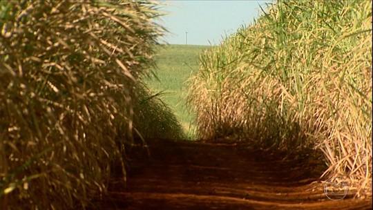 Seca prejudica desenvolvimento da cana de açúcar em São Paulo