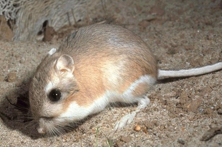 """Um rato do gênero Dipodomys, conhecido como """"rato canguru"""" (Foto: Wikipedia Commons)"""
