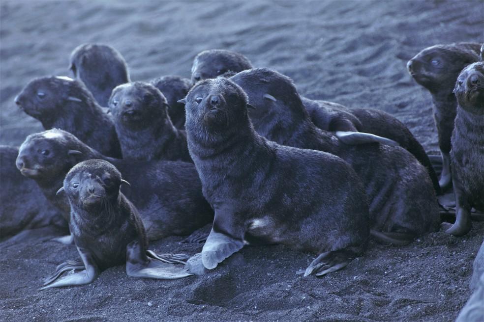 Filhotes de lobo-marinho na ilha de Bogoslof, no Alaska. — Foto: AP