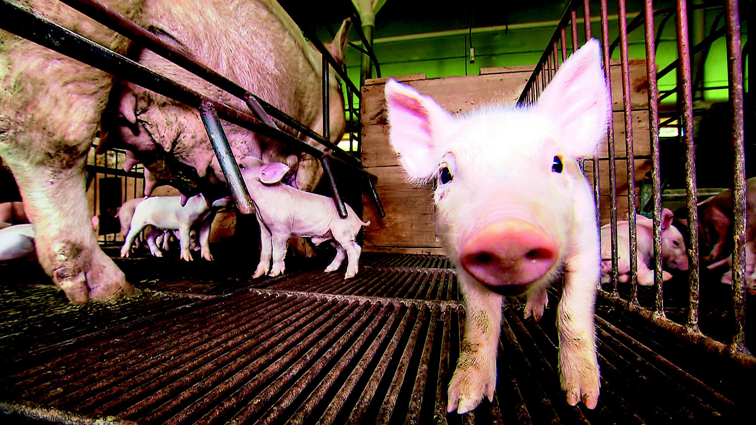 porco_genética_tv (Foto: Reprodução/TV Globo)