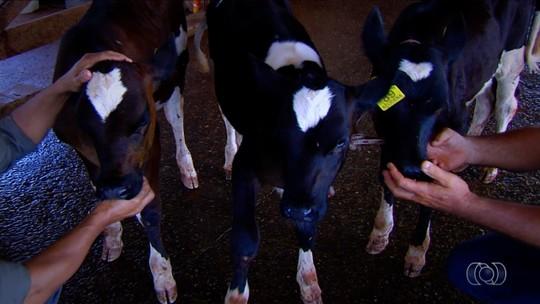 Em caso raríssimo, vaca pare bezerras trigêmeas, todas com marca em forma de coração na cabeça, em Goianésia