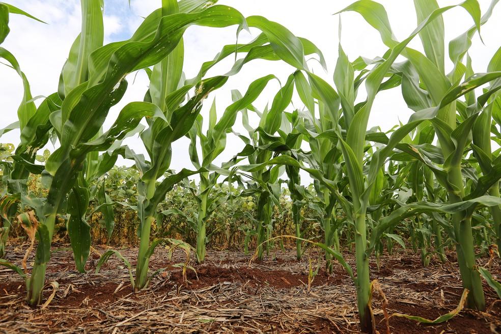 Setor da agricultura no Paraná cresceu impulsionado pela safra de inverno de milho (Foto: Giuliano Gomes/PR Press)