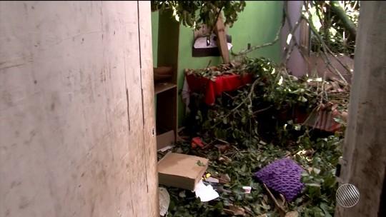 Árvore centenária de quase 40 metros é derrubada e destrói 4 casas no sul da Bahia