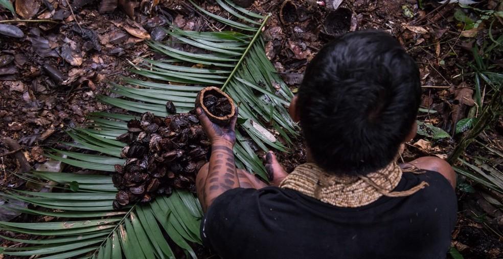Índios tem extração de castanha como fonte de subsistência — Foto: Projeto Pacto das Águas