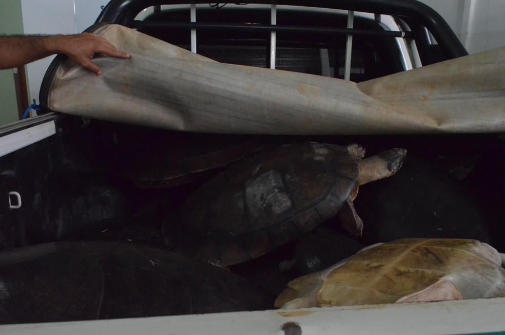 Tartaruga-da-amazonia resgatadas durante fiscalização em Santarém (Foto: Fábio Cadete/G1)