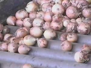Produção de cebola em Cabrobó (Foto: Reprodução / TV Grande Rio)