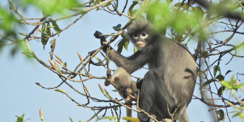 Nova espécie de primata é descoberta nas florestas de Mianmar, na Ásia (Foto: Thaung Win)