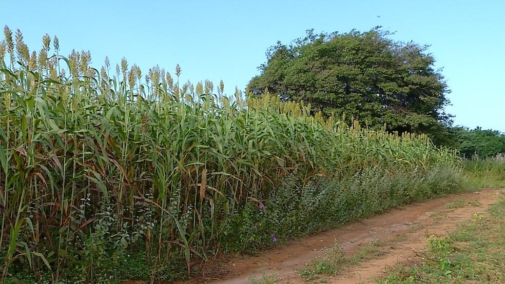 Plantação de sorgo em Mossoró, no Oeste potiguar (Foto: Inter TV Cabugi/Reprodução)