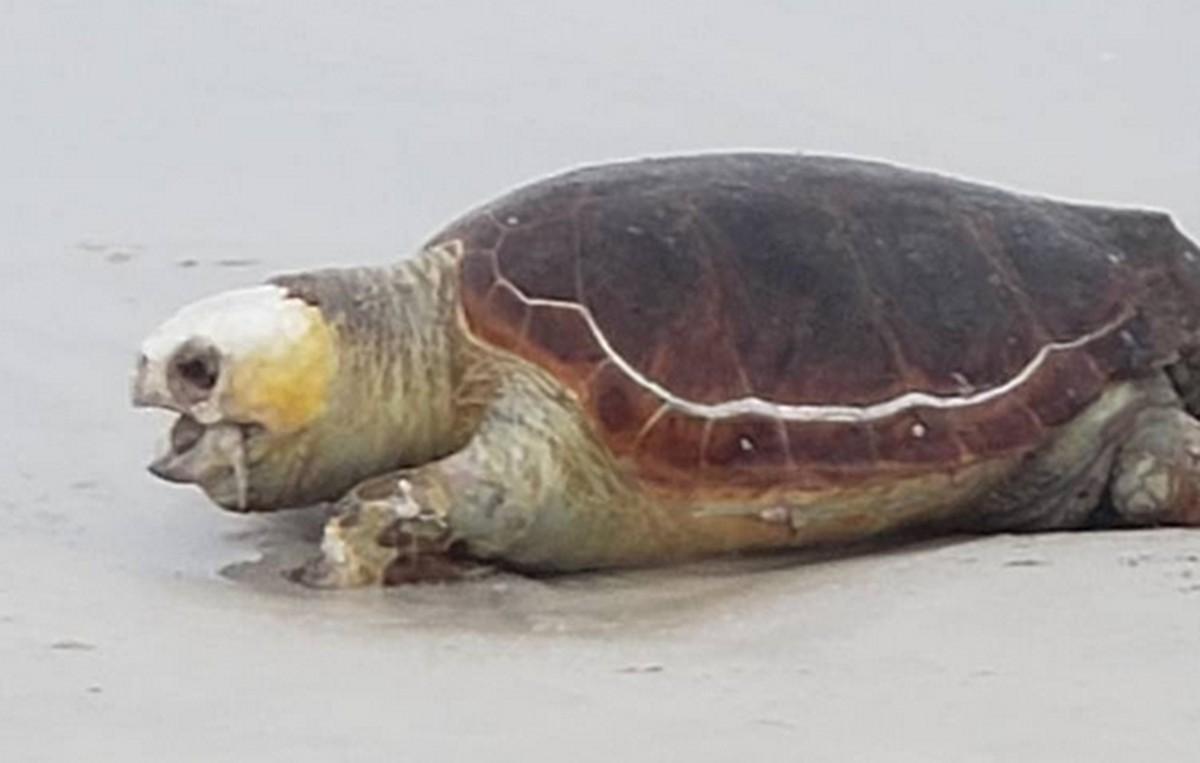 Tartaruga de 40 kg é encontrada morta em praia em Cabo Frio, no RJ - G1