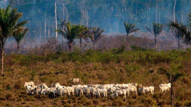 Várias áreas da Amazônia estão sendo afetadas pela pecuária (Foto: Getty Images via BBC News)