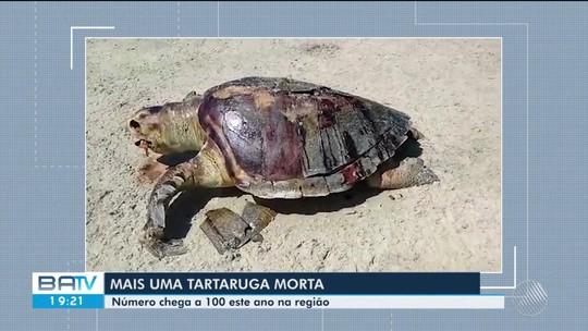 Tartaruga é achada morta em praia do sul da Bahia e número de casos chega a 100 na região, segundo ONG