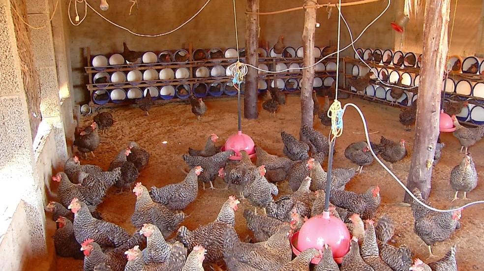Criação de galinhas caipiras no interior do Rio Grande do Norte — Foto: Hugo Andrade/Inter TV Costa Branca