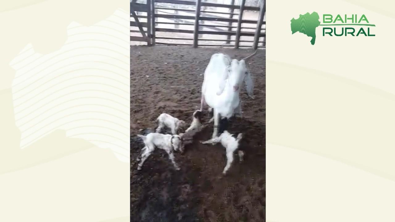 Homem registra fato inusitado envolvendo uma cabra em cidade perto de Riachão do Jacuípe
